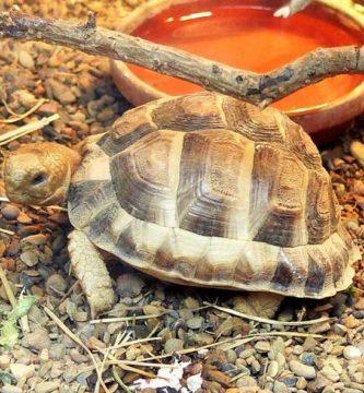 tortuga egipcia