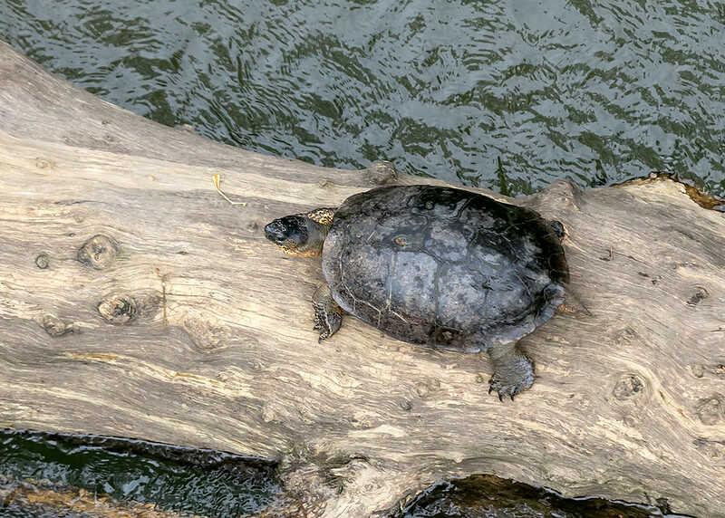 Tortuga Blanca Black River Turtle, tortuga tabasco