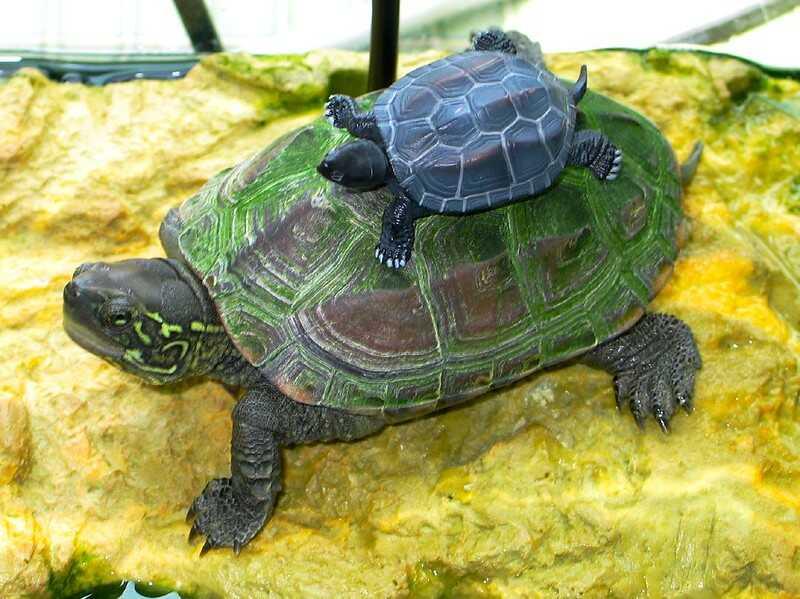 Características de la tortuga tres crestas