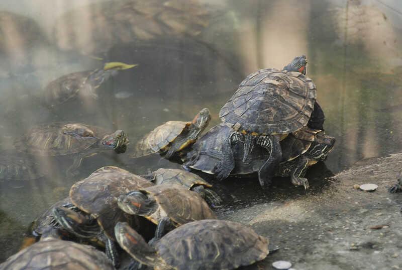 Hábitat  de la tortuga China