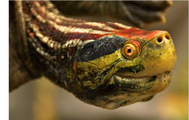 Descripción de la tortuga Corona Roja