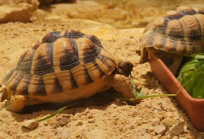 tortuga egipcia Características