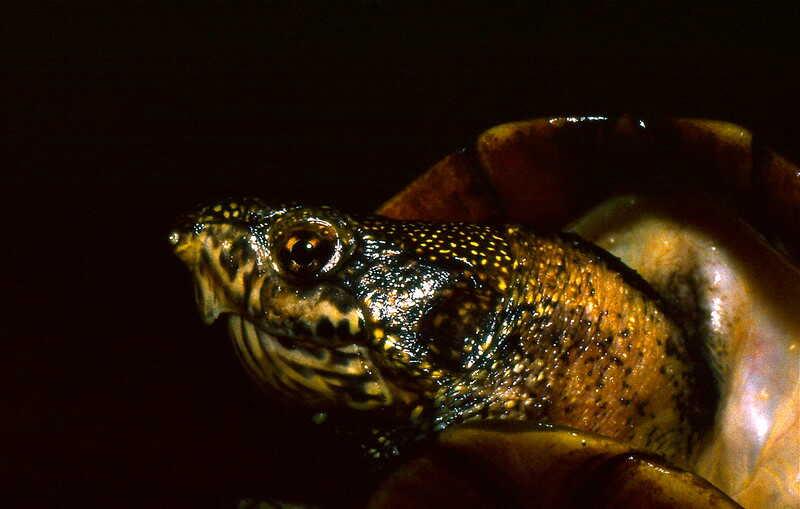 origen de la tortuga Escorpion