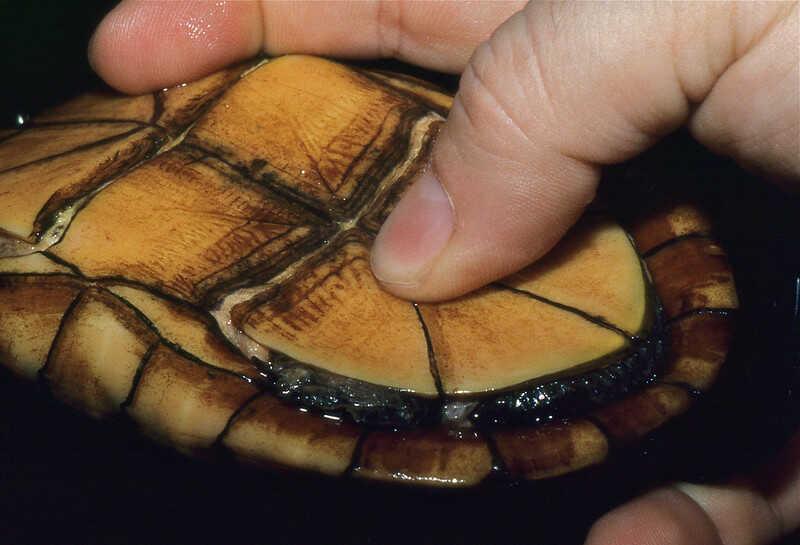 Alimentación  de la tortuga Escuche o Escorpion