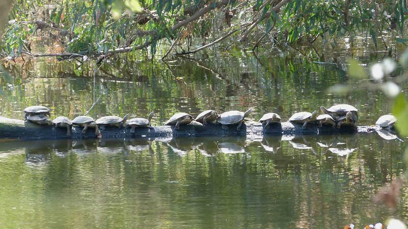 Crías de tortugas galápago leproso