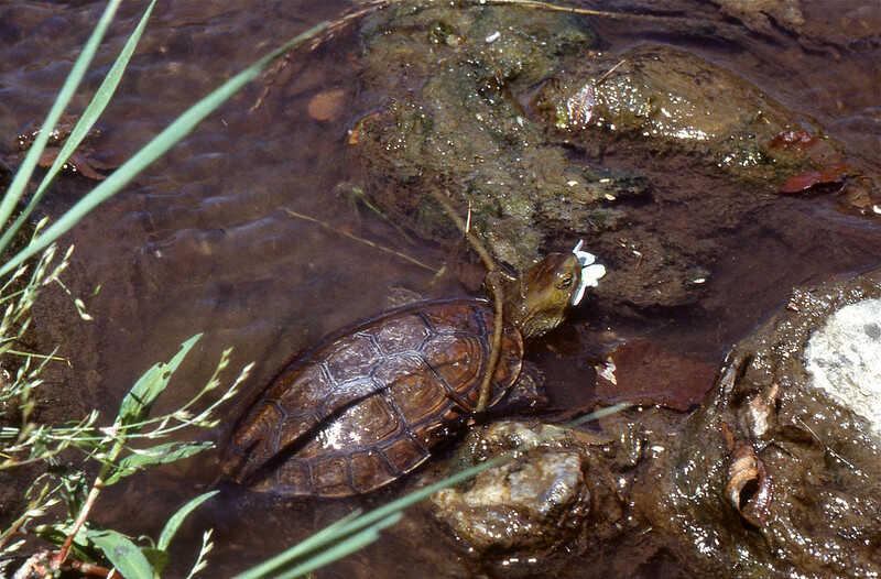 Comportamiento tortuga leprosa tiempo de vida