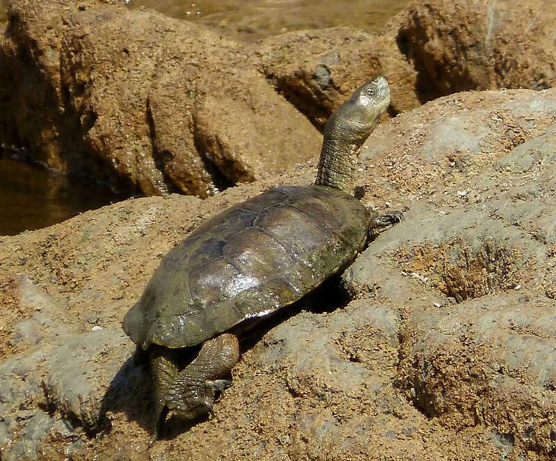 Descripción de la tortuga Leprosa