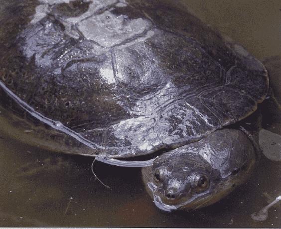 Tortuga Mesoclemmys Zuliae adulta hembra