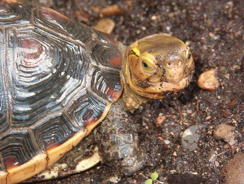 tortuga de caja China
