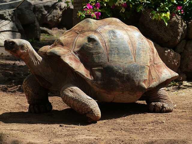Cuántos huevos pone la tortuga Sulcata