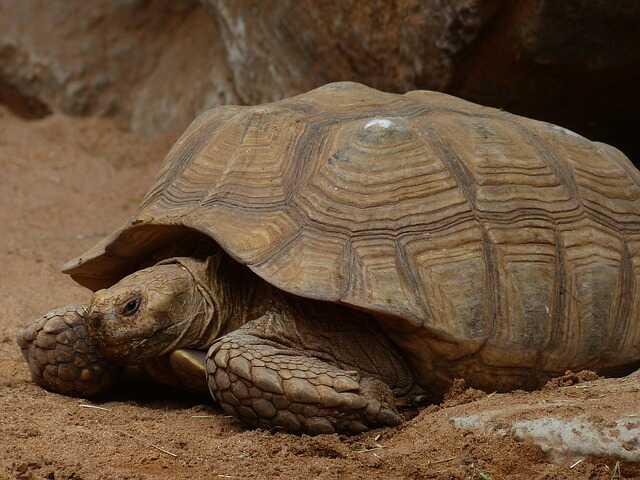 Amenazas y peligros de extinción de la tortuga Sulcata