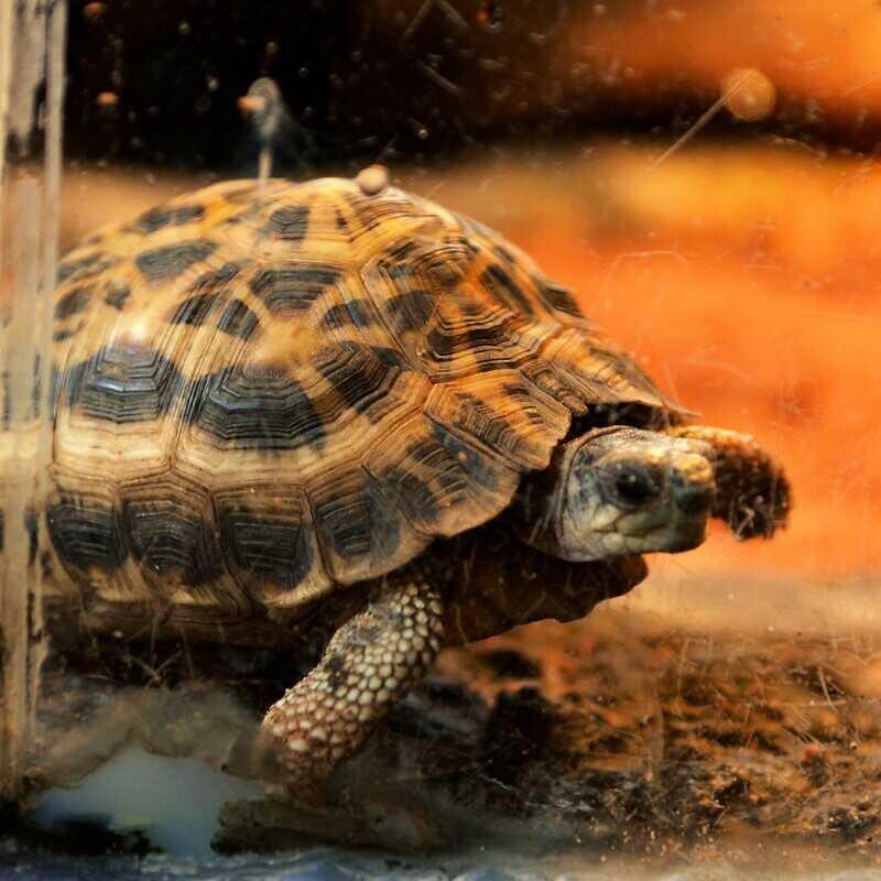 Características más comunes de la tortuga araña
