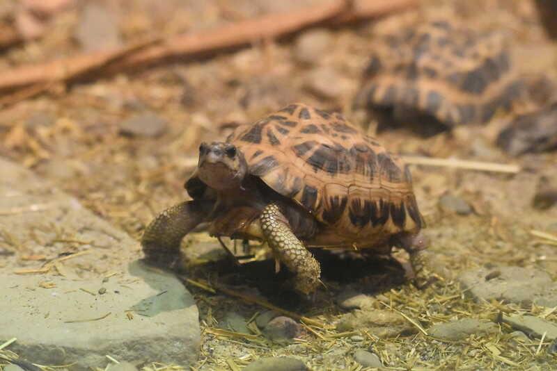 Descripción de la tortuga araña de Madagascar