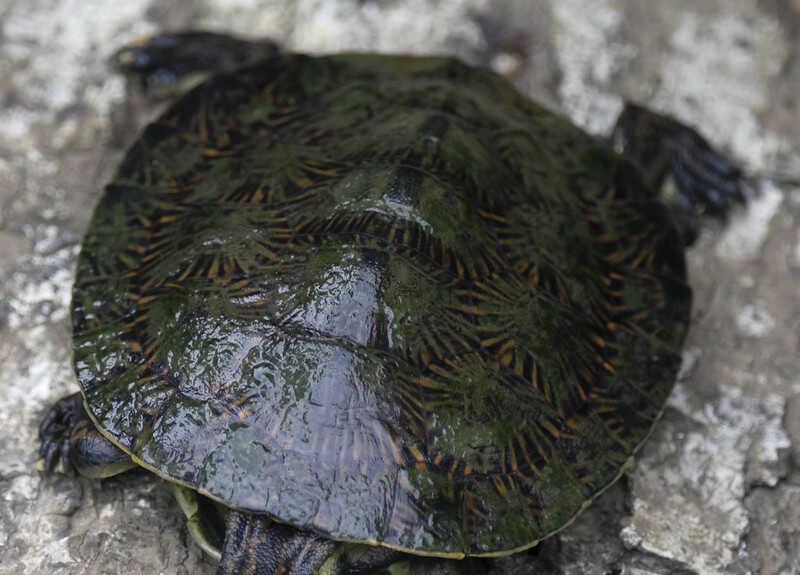 Hábitat de la tortuga de Arroyo