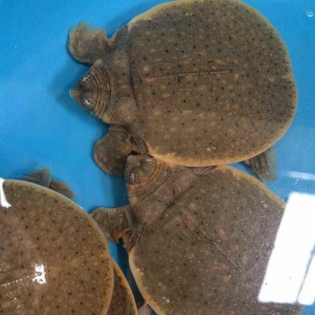 Características tortuga de cantor gigante de caparazón blando