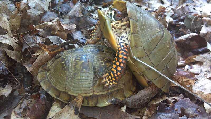 Reproducción de la tortuga de caja de tres dedos