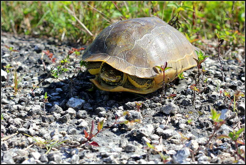 Edad de vida de la tortuga de caja de tres dedos