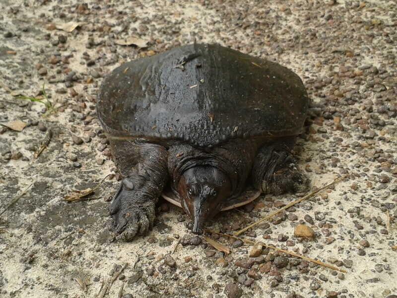 Reproducción de la tortuga de caparazón blando