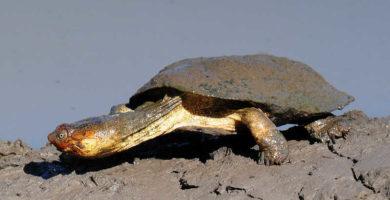 tortuga de escudo africana