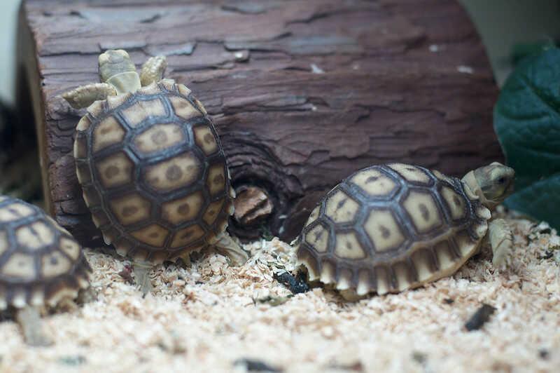 Criar crias de tortuga Sulcata