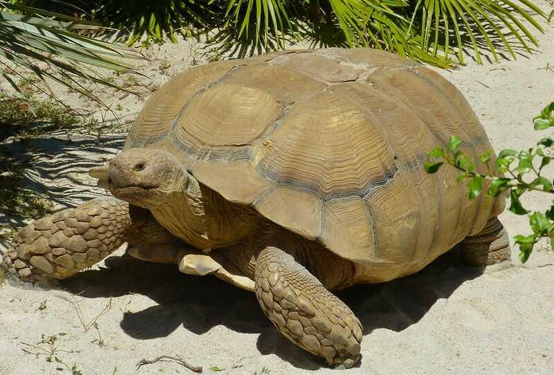 Descripción de la tortuga Sulcata