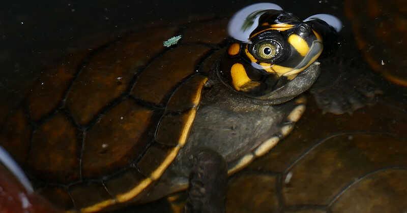 Cuidar las crías pequeñas Tortuga de río con pintas amarillas