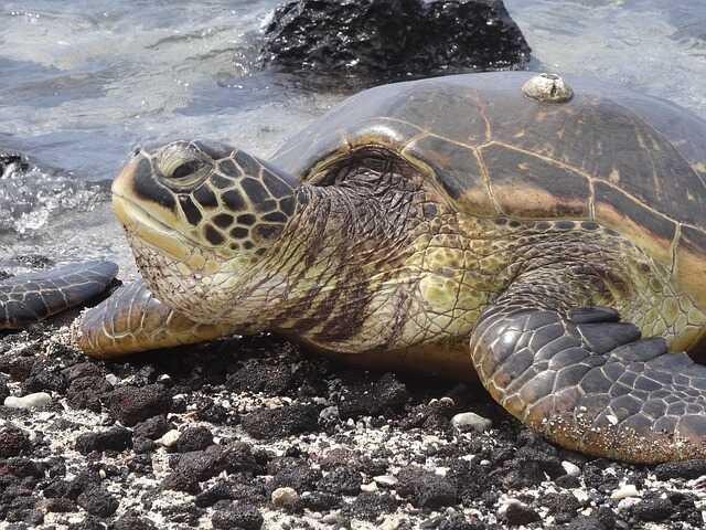 Curiosidades sobre las tortugas marinas