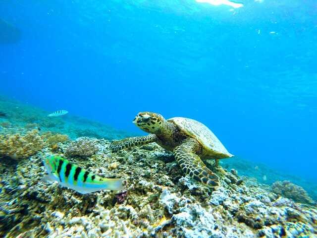 Desde cuándo existen las tortugas marinas