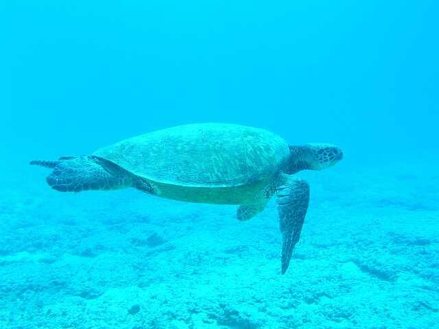 Cómo respiran debajo las tortugas Albinas