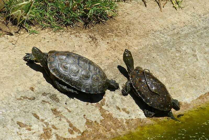 Cuántas tortugas leporsas quedan en el mundo