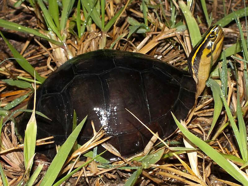 De dónde es originaria la tortuga  de caja Malaya