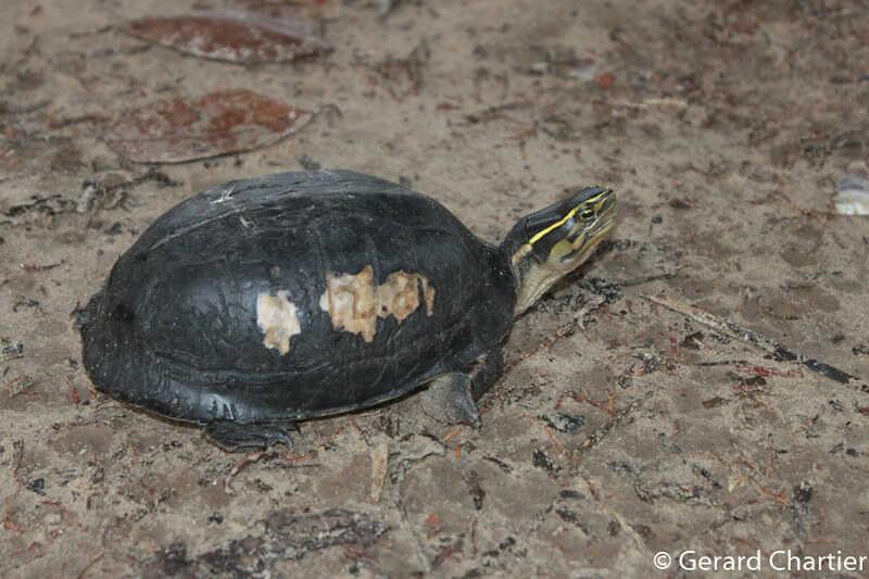 La tortuga de caja del sureste asiático (Cuora amboinensis)