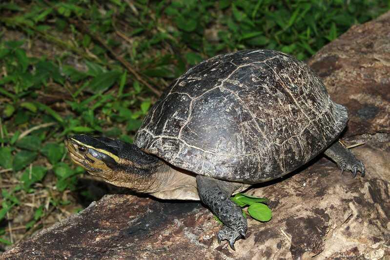 Descripción de la tortuga  de caja Malaya