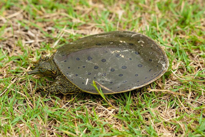 Características tortuga de caparazón blando espinosa