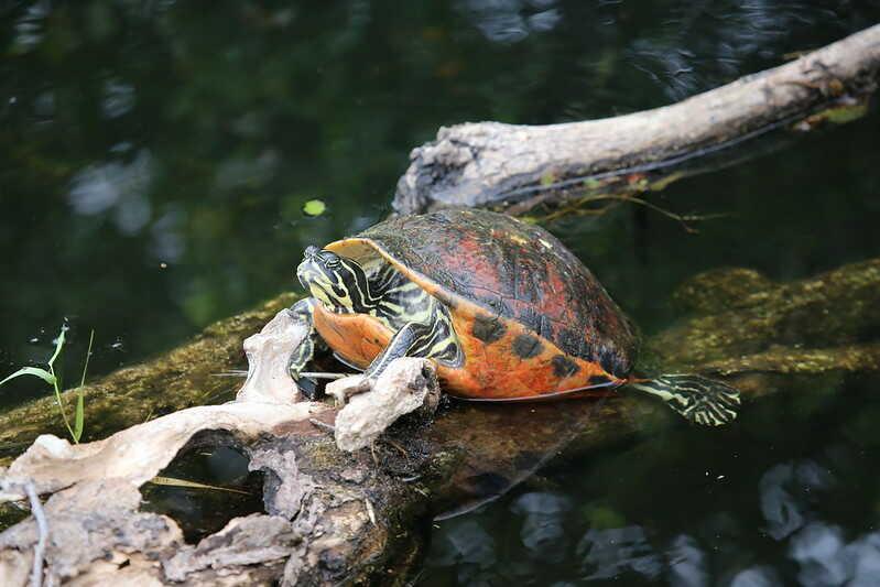 Cuidar las crías de tortuga de Vientre Rojo