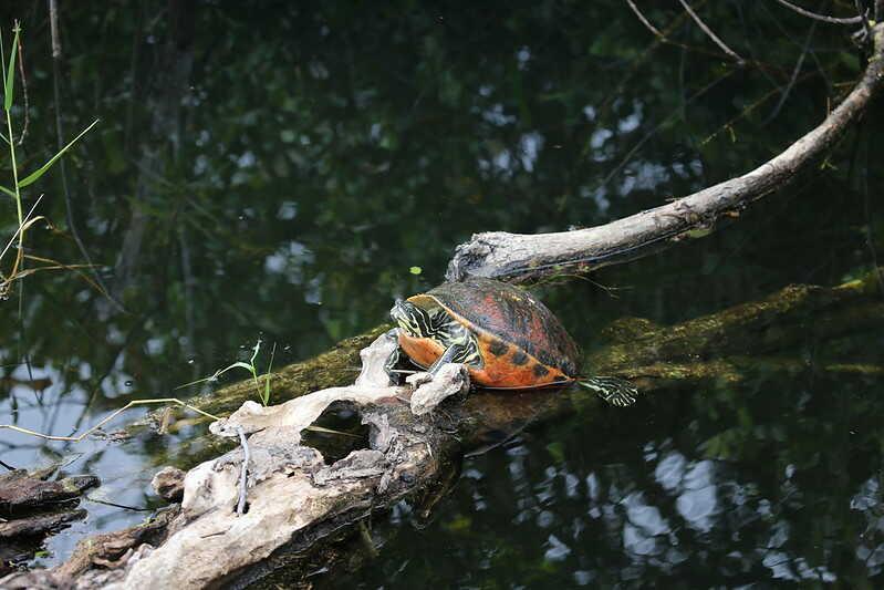 Depredadores de estas tortugas